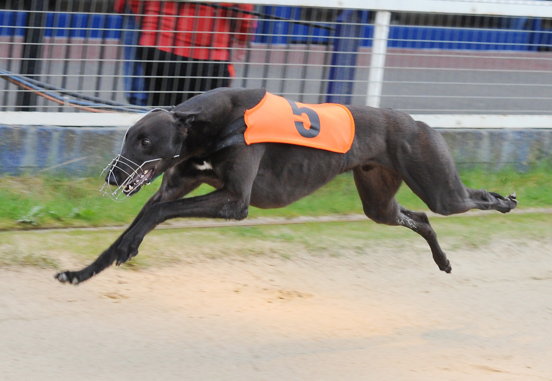 Record Rebel Greyhound Star News From The Greyhound